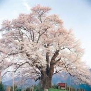 「醍醐桜まつり」.png