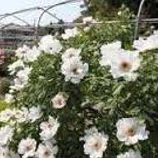 ボタンの花 A.jpg