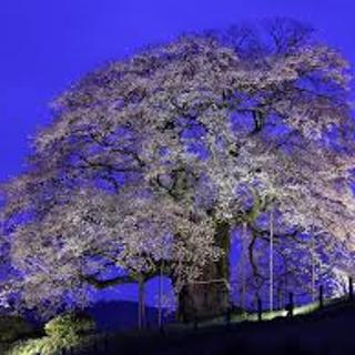 夜 醍醐桜.png