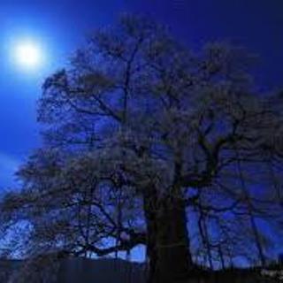 醍醐桜 夜.jpg